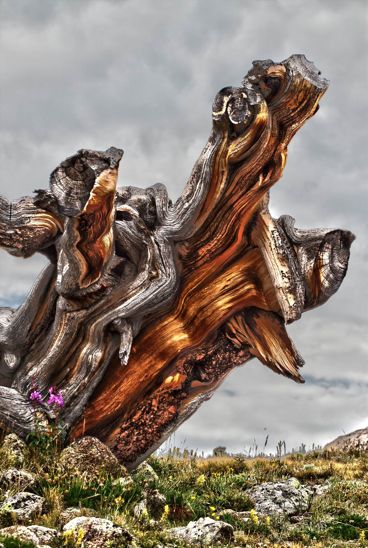 Ancient Tree - An ancient tree stump near Mt Evans, Colorado. by D Scott Smith