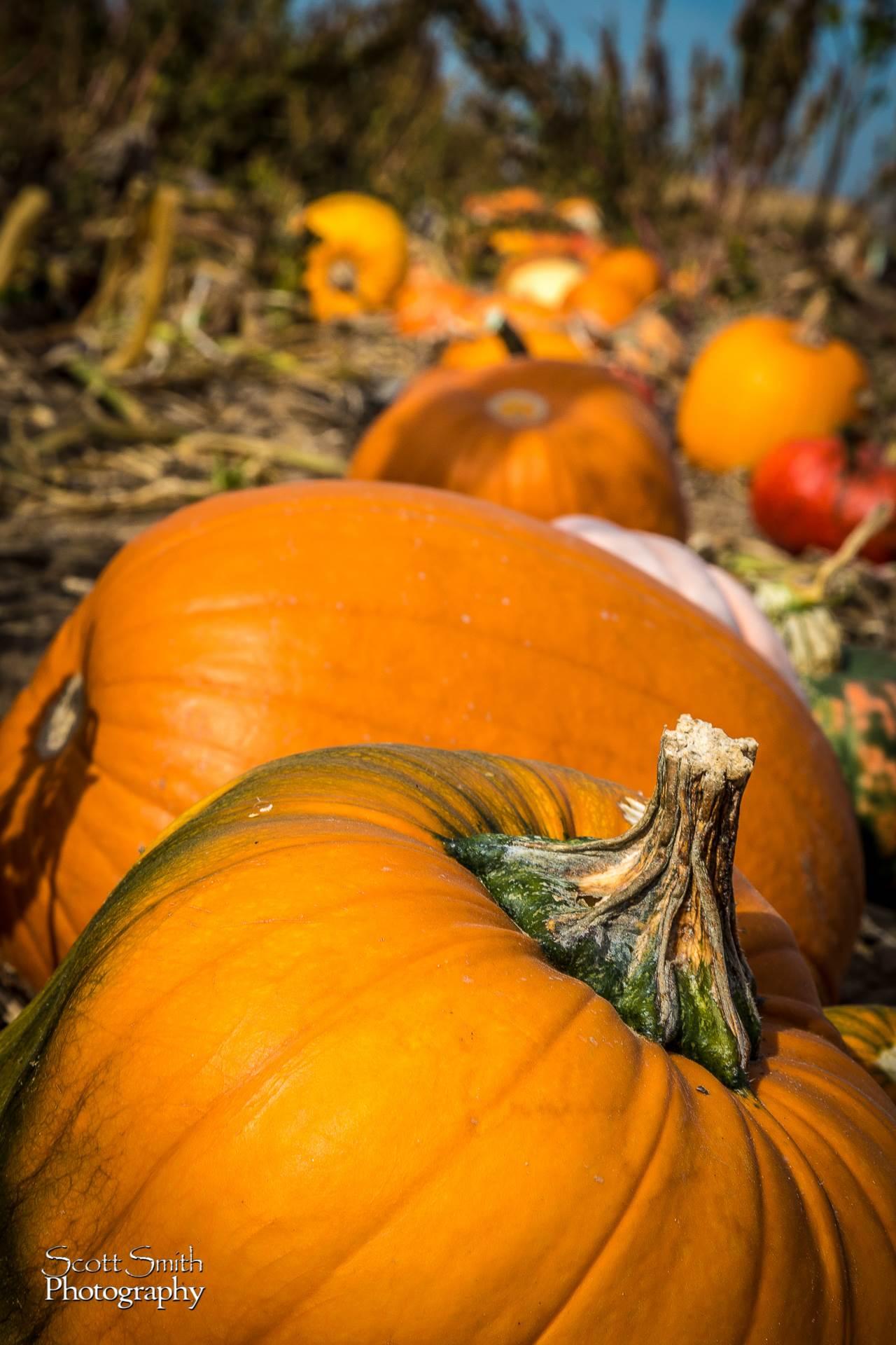Pumpkins - Anderson Farms, Erie Colorado. by D Scott Smith