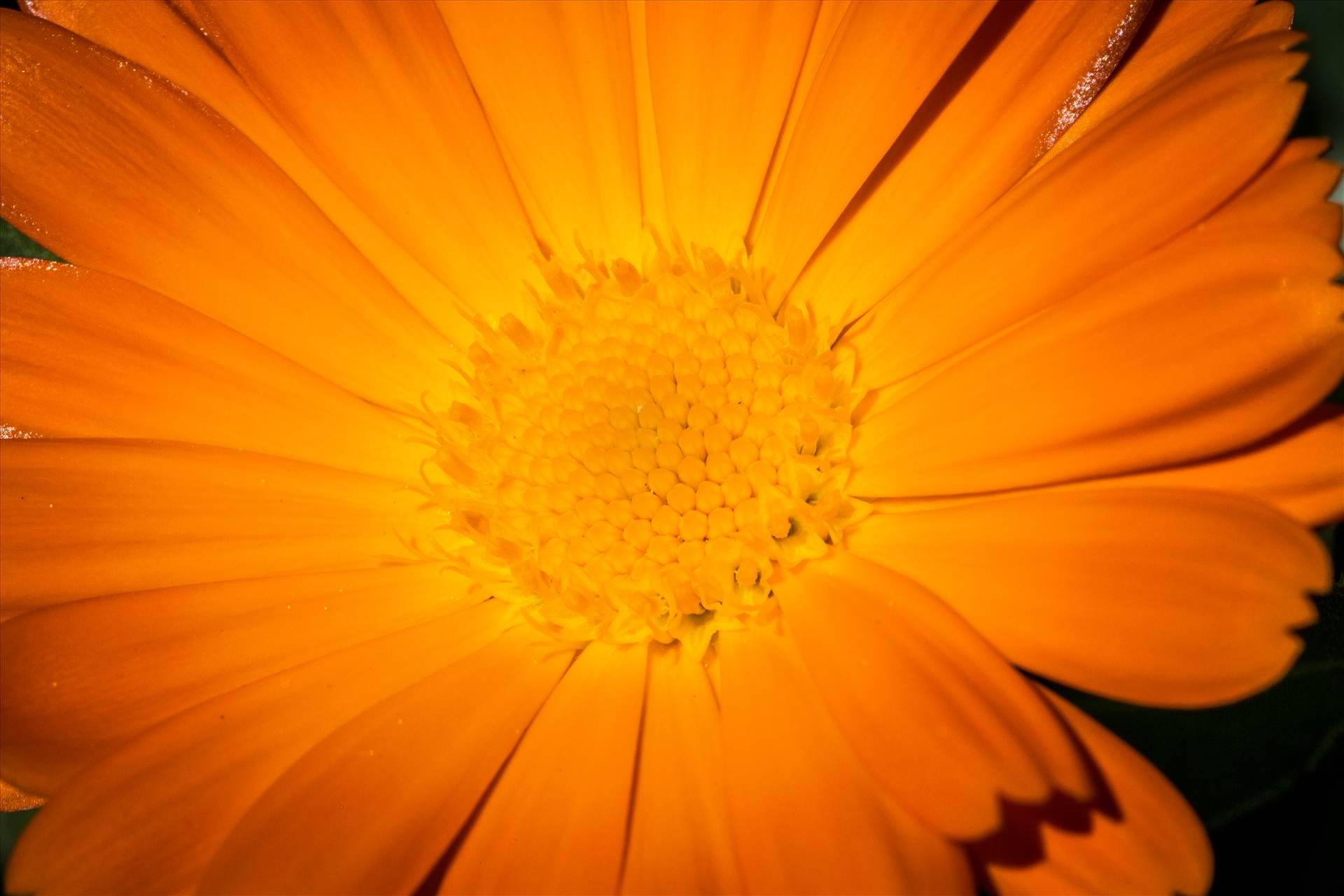 Orange Daisy - A spring daisy in Langley, Washington by D Scott Smith
