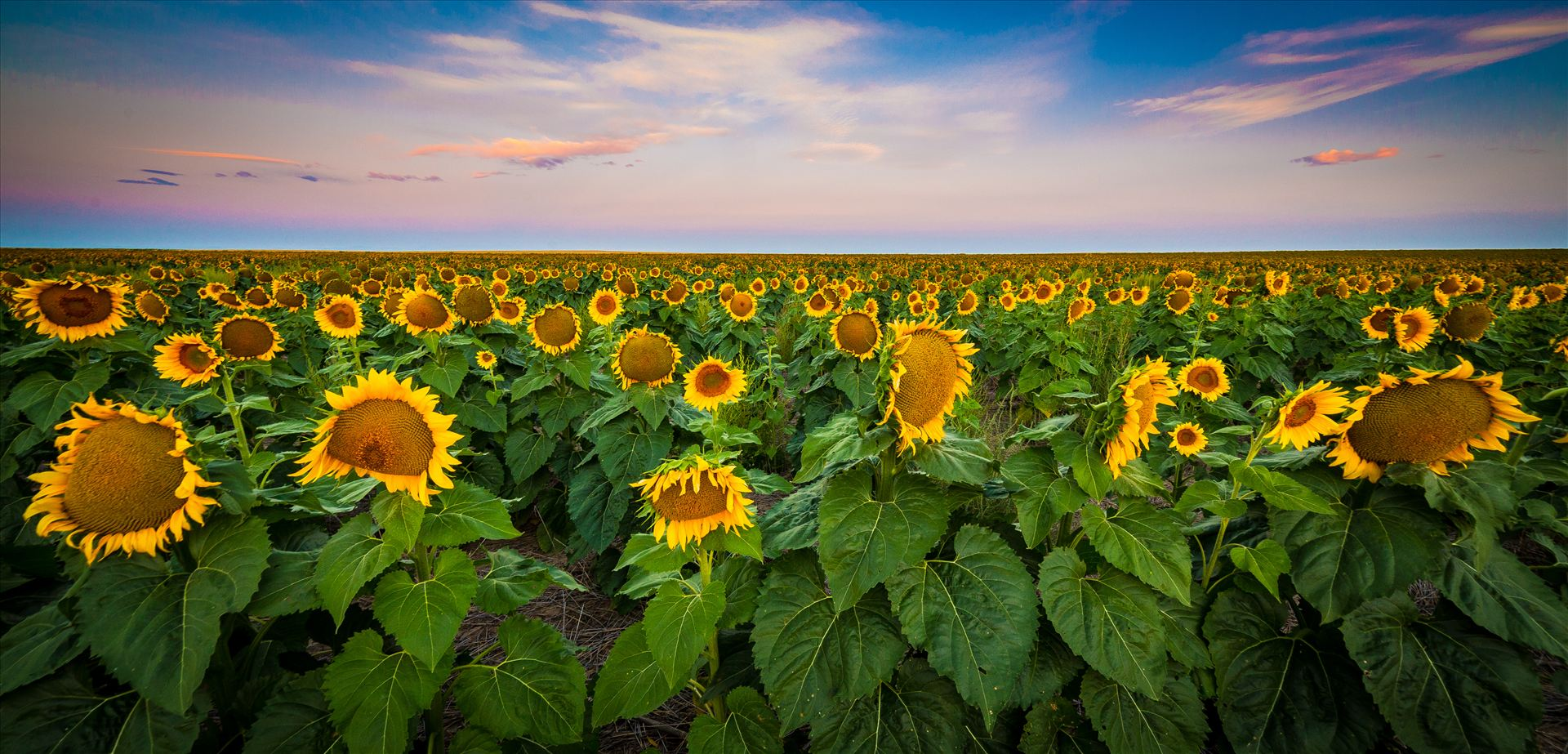 Colorado Sunflower Sunrise - Sunflowers near Denver International Airport. by D Scott Smith