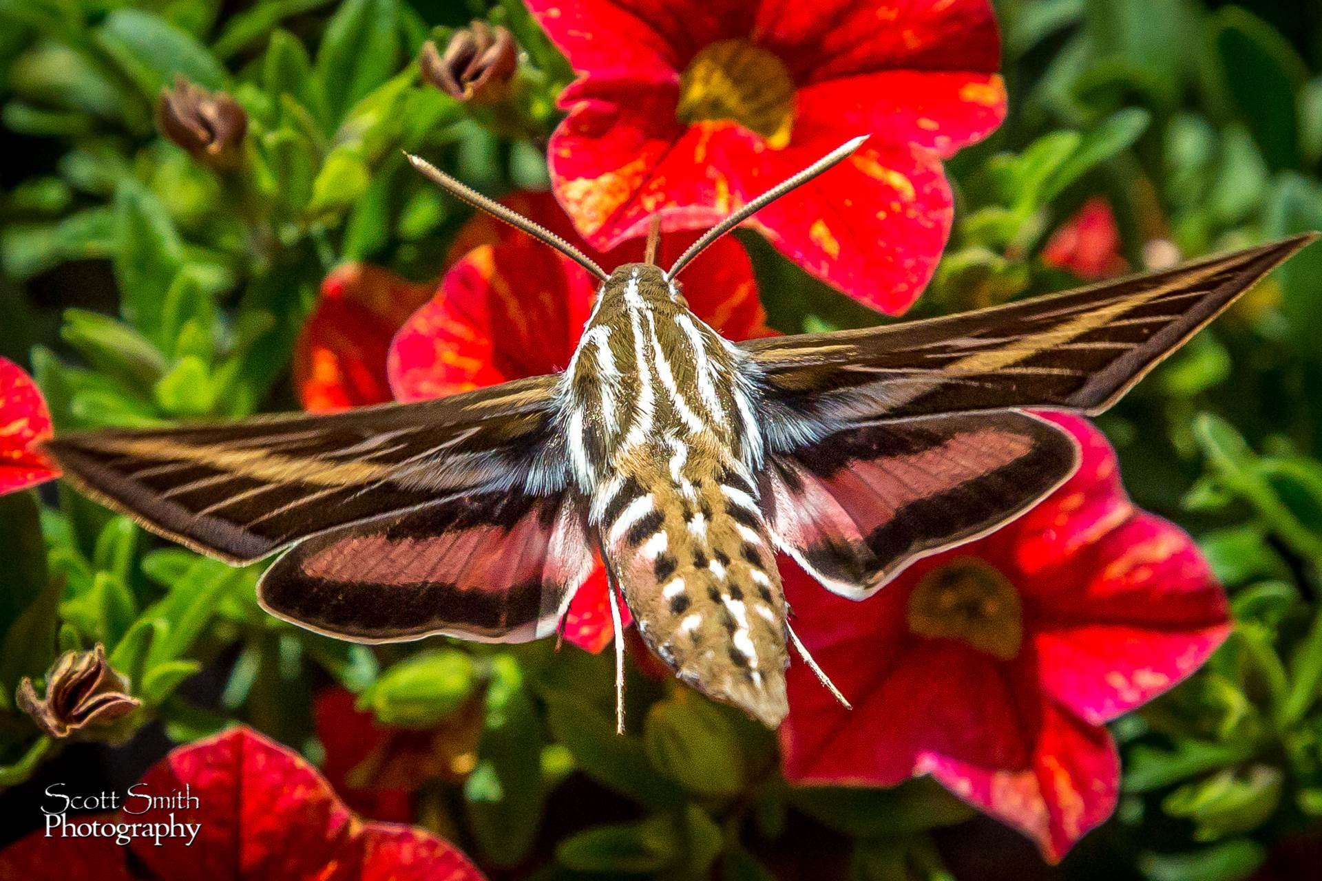 Hawk Moth -  by D Scott Smith