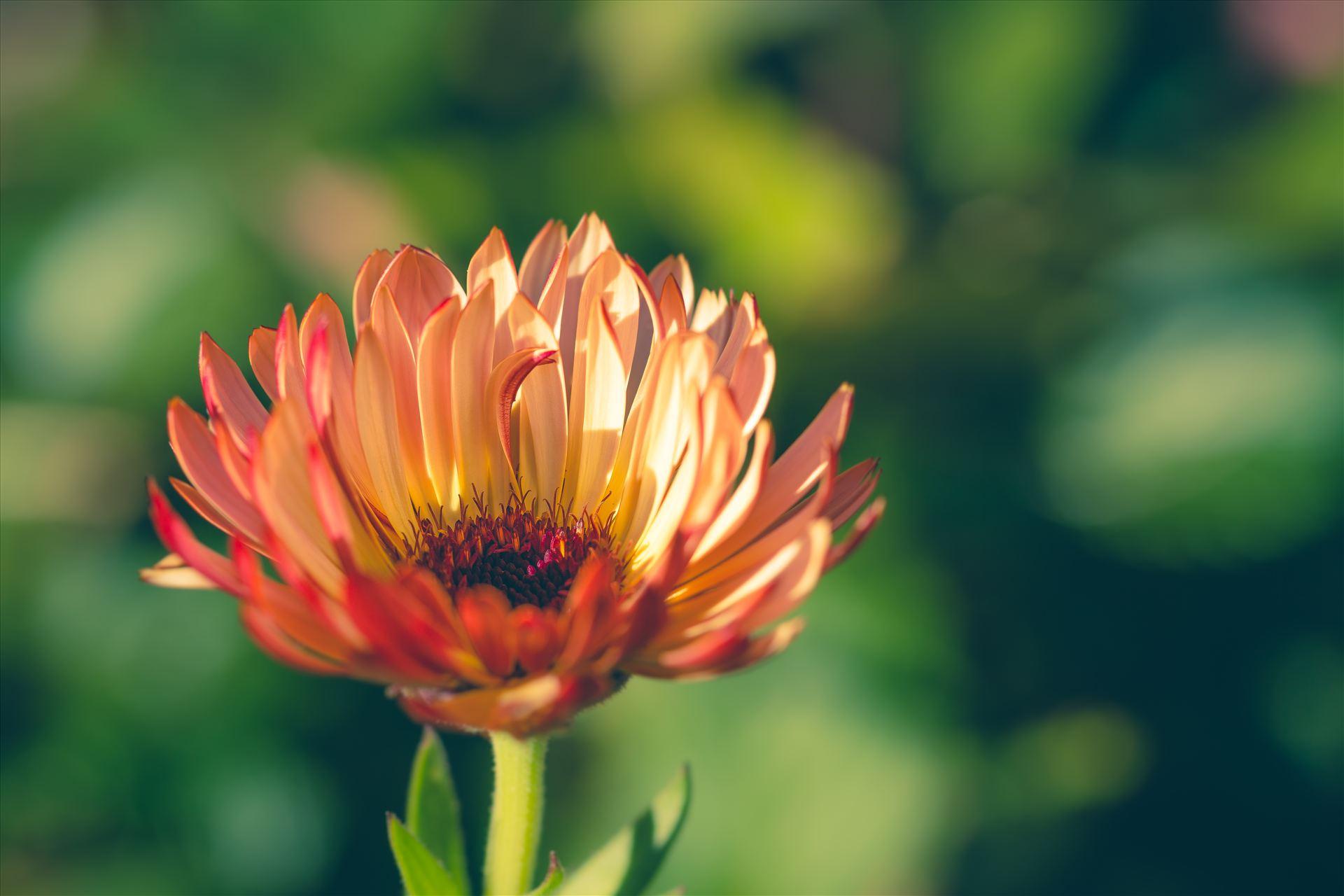 Fall Flower -  by D Scott Smith