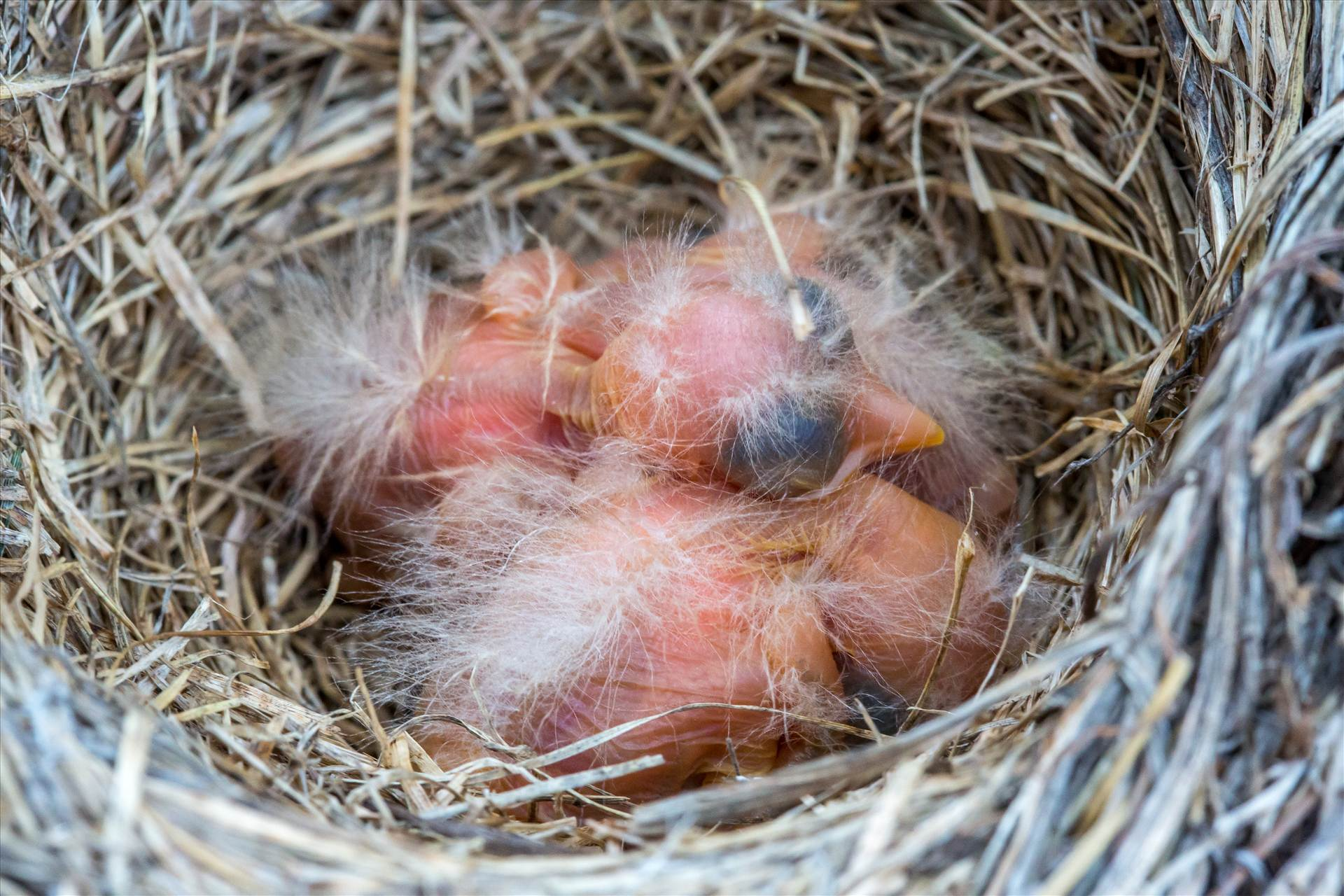 Babies in the Nest -  by D Scott Smith