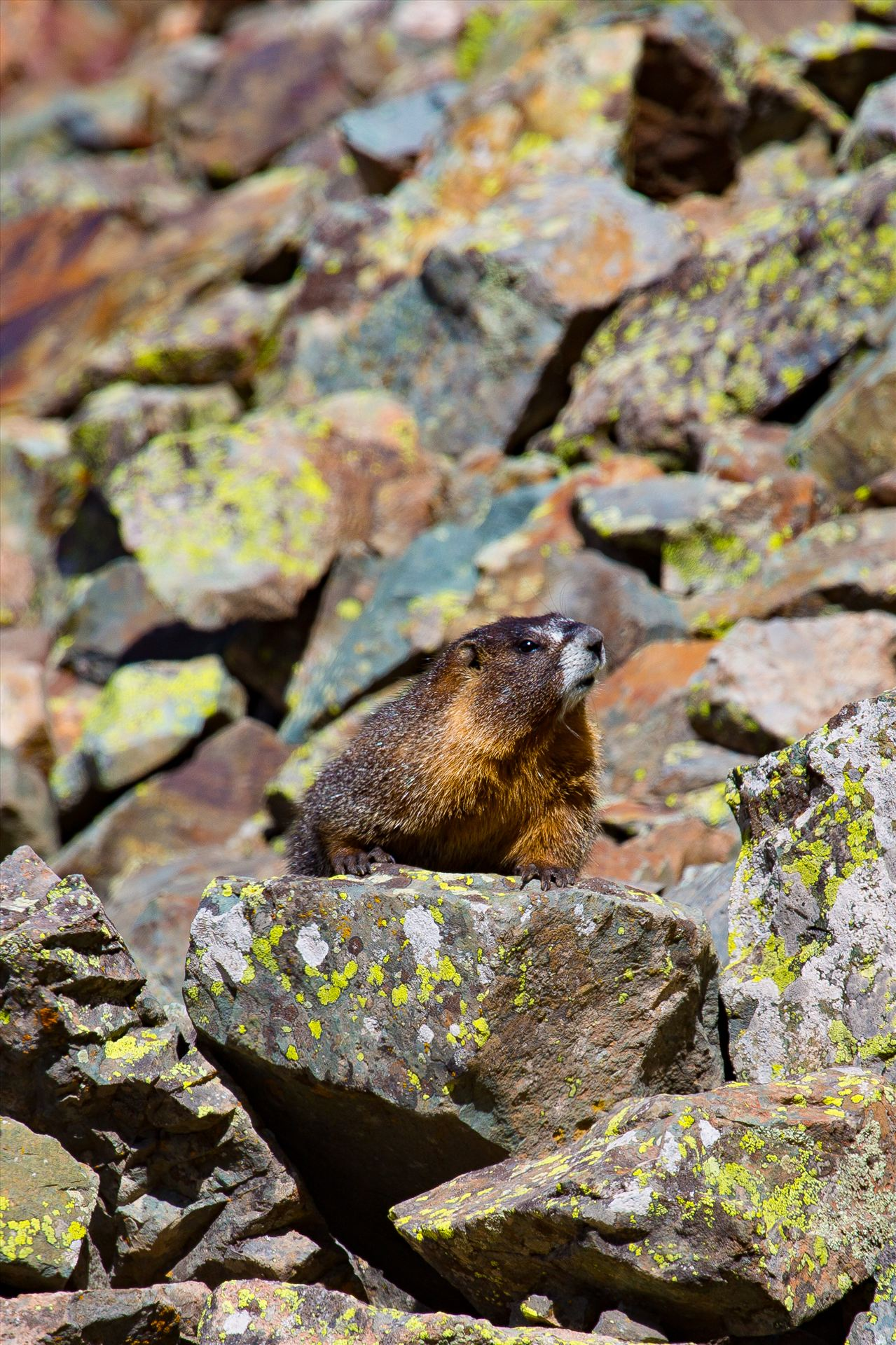 Ophir Pass Marmot - A marmot looks for snacks on Ophir Pass, near Ophir Colorado. by D Scott Smith