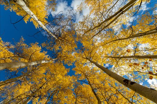 Aspens reaching skyward in Fall. Taken near Maroon Creek Drive near Aspen, Colorado.