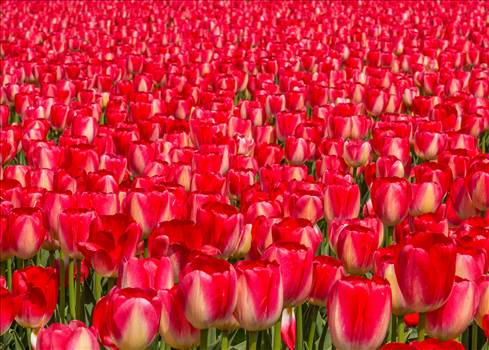 From the 2012 Skagit County Tulip Festival in Washington.