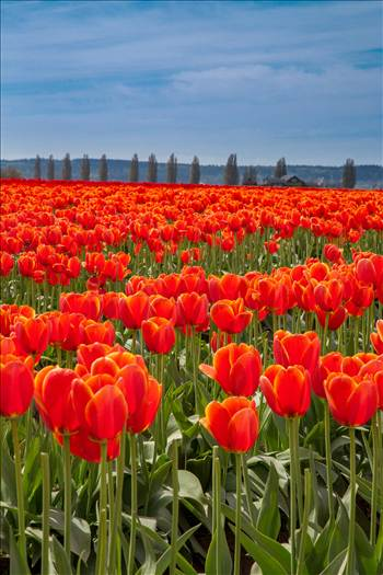 From the 2012 Skagit County Tulip Festival.