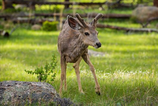 Preview of Rocky Mountain National Park Deer 2