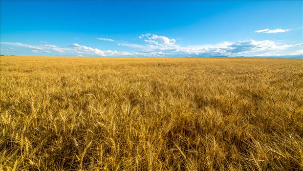 A field of wheat in late summer near Longmont, Colorado.