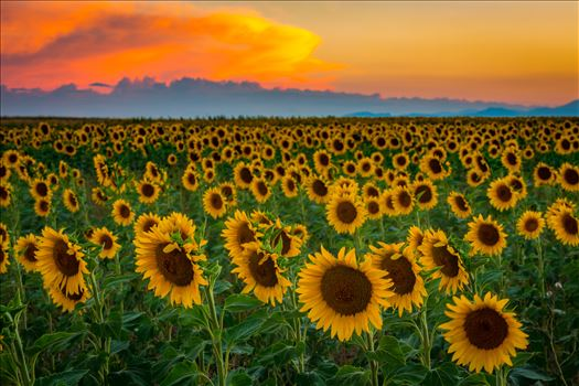 Sunflower fields near Denver International Airport, on August 20th, 2016. Near 56th and E470.