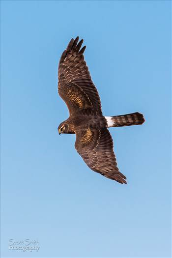 A marsh hawk soaring over the grasslands at the Rocky Mountain Arsenal Wildlife Refuge.