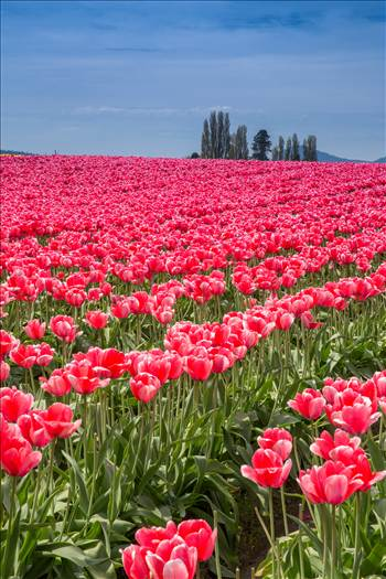 Preview of Tulips 3