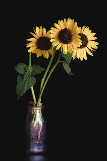 Fresh sunflowers, from Denver, Colorado.