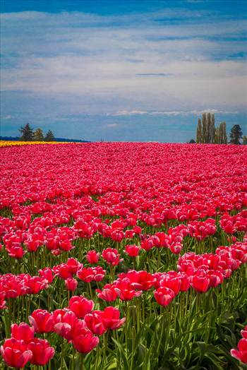 From the Skagit County Tulip Festival, 2012.