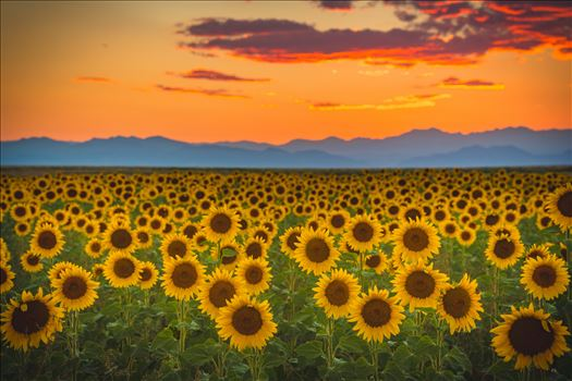 Preview of Denver Sunflowers at Sunset No 1