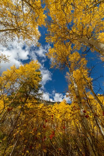 Aspens and wild berries in Fall. Taken near Maroon Creek Drive near Aspen, Colorado.