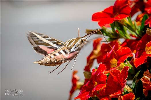 A large Hawk Moth feeds on some summer flowers in Frisco, CO.