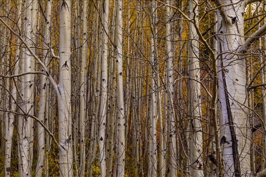 A dense grove of aspens near Marble, Colorado, in the fall.
