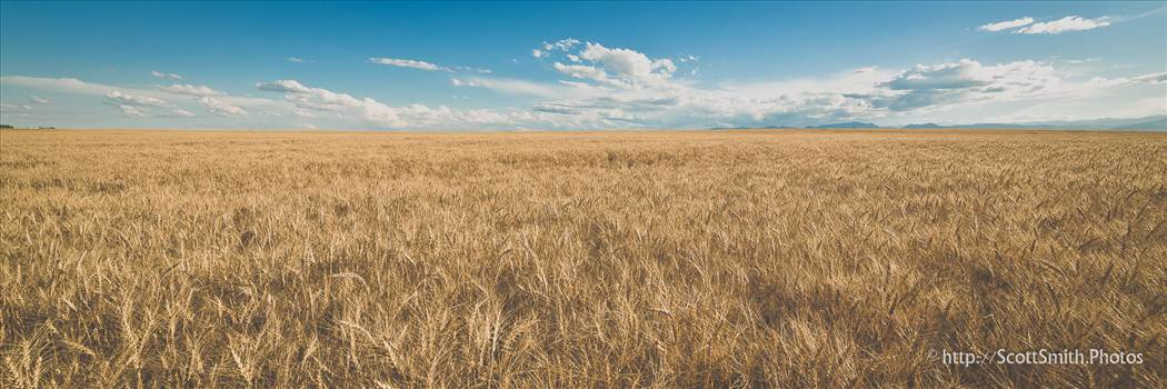 A wheat field off of highway 52 near Longmont, Colorado in early summer.