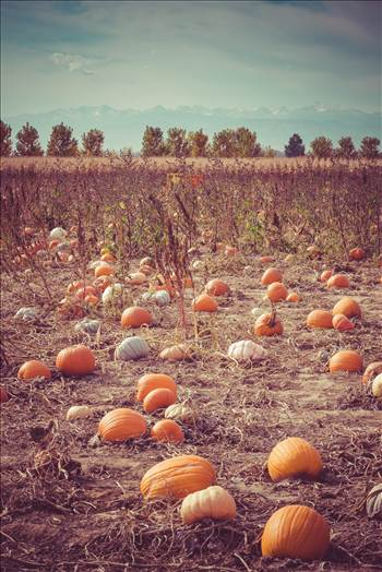Anderson Farm's pumpkin patch.