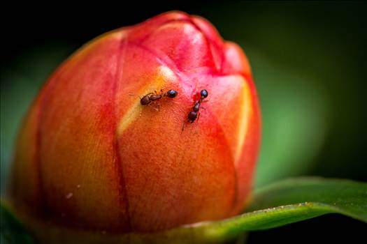 A pair of tiny ants crawling on a small flower bud.