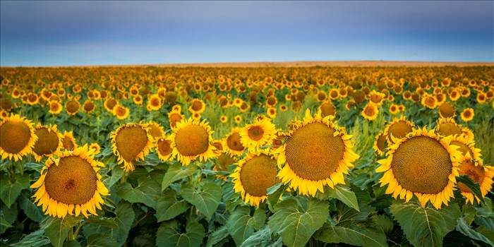 Sunflower fields near Denver International Airport, Colorado.