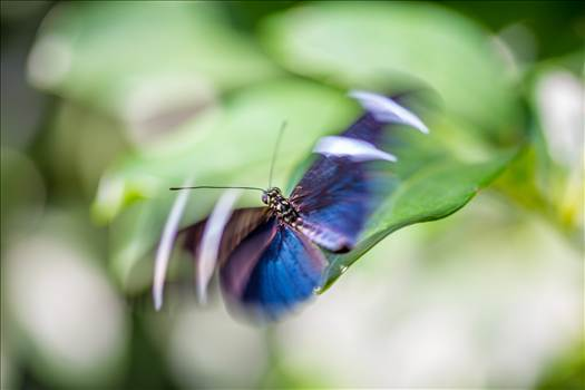 A butterfly hovers gracefully at the Butterfly Pavillion, Westminster, Colorado.
