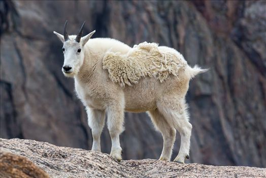 Preview of Mt Evans-Mountain Goat