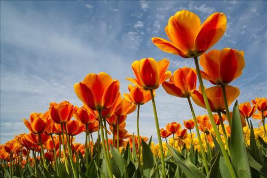 Preview of Tulip Festival