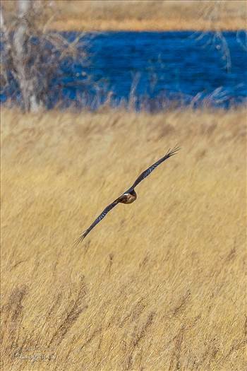 A marsh hawk glides over the grass at the Rocky Mountain Arsenal Wildlife Refuge.