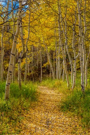 Beautiful aspens showing their fall colors along Rim Trail in Snowmass