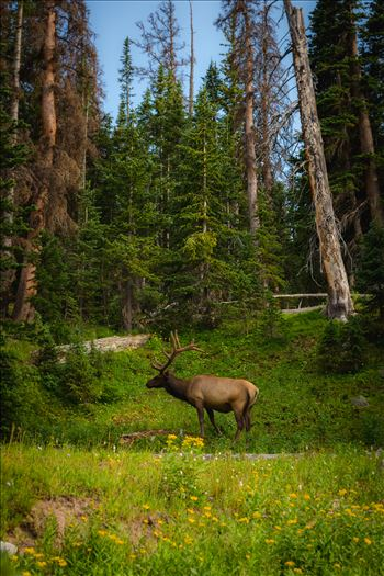 A fairytale setting in Rocky Mountain National Park, just off Trail Ridge Road. A fully grown elk buck grazes on the lush growth.
