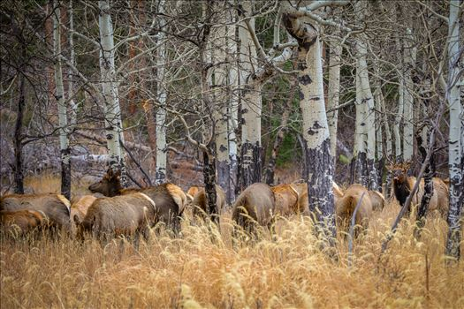A heard of Elk near the entrance to Rocky Mountain National Park, Estes Park, Colorado.