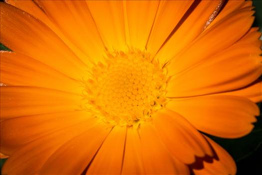 Preview of Orange Daisy