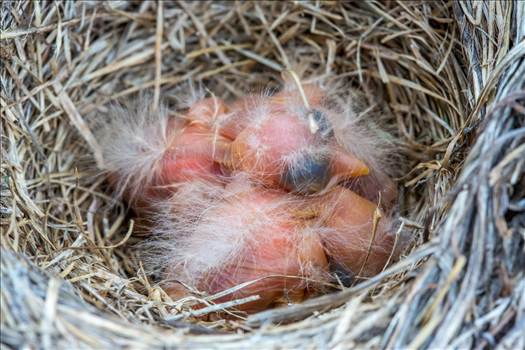 Preview of Babies in the Nest