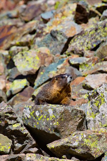 A marmot looks for snacks on Ophir Pass, near Ophir Colorado.