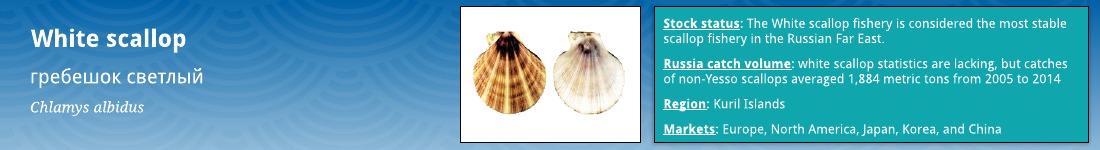 White scallop