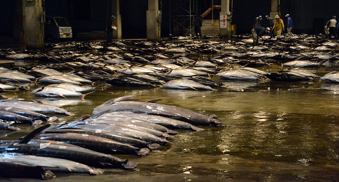 Nachi Katsuura Longline Albacore Tuna FIP