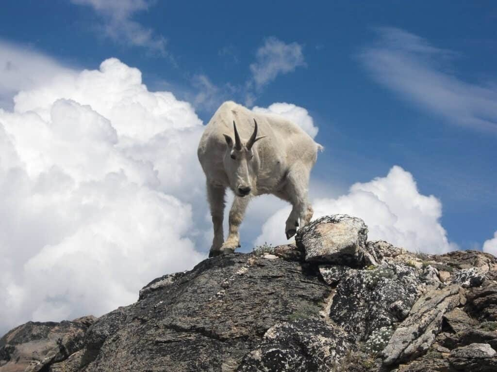 mountain-goat-5-hour-working-day-blog