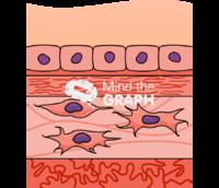 Amniotic membrane layers