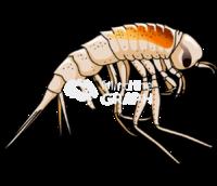 Amphipod themisto gaudichaudii lateral