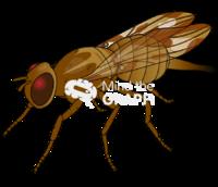 Anastrepha fraterculus