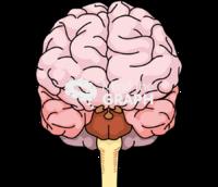 Immature brain anatomic front