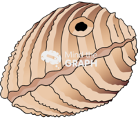 Bivalve mollusk closed hole