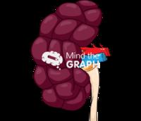 Bovine kidney lateral