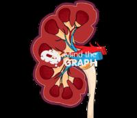 Bovine kidney lateral cut
