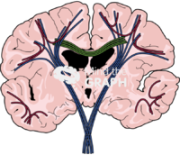 Brain human white matter fibres front cut