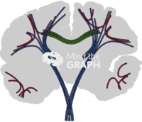 Brain human white matter fibres front cut shape