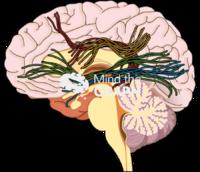 Brain human white matter fibres sagittal cut