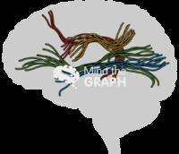 Brain human white matter fibres sagittal cut shape